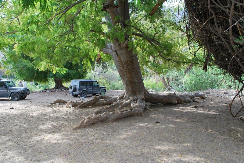 parking under giant Guanacaste tree
