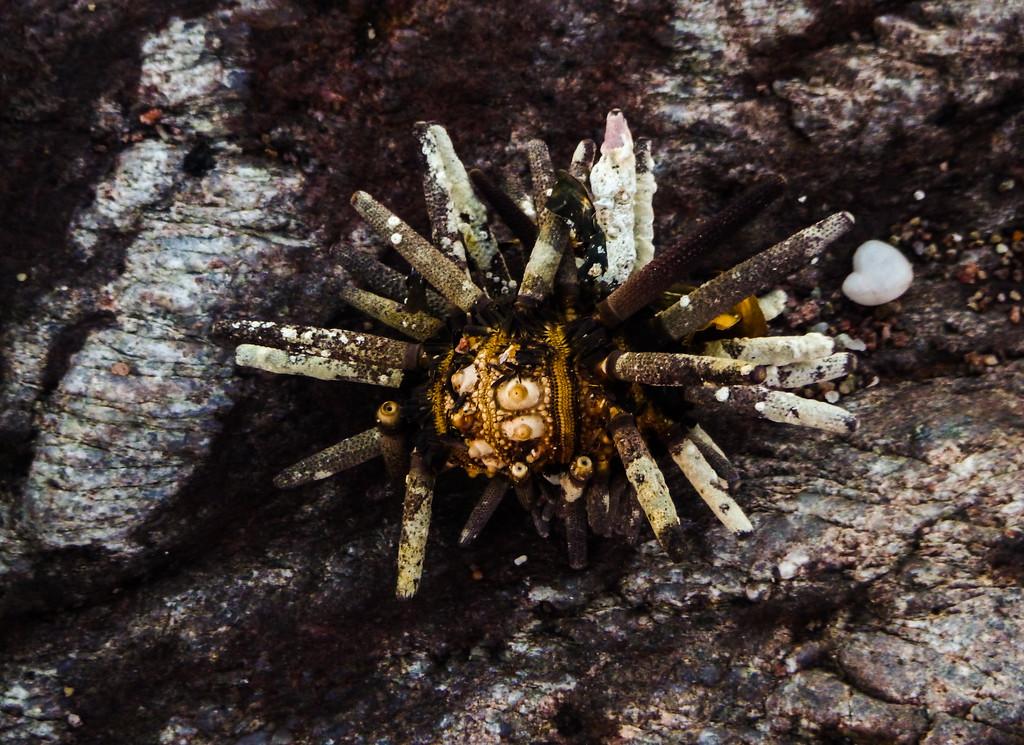 Formerly a Sea Urchin