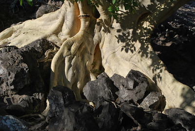 the roots of fig trees in Baja flow over the rocks like molten lava