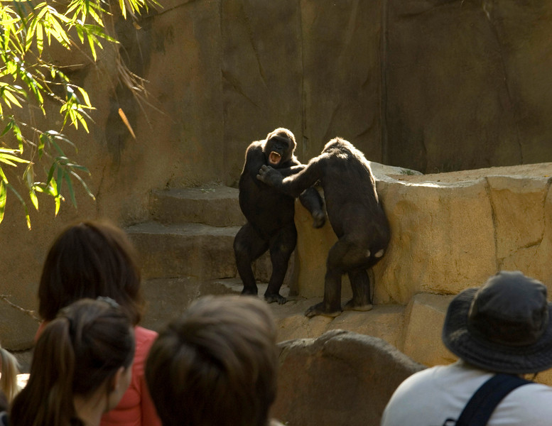 Young apes wrestling at the San Diego Wild Animal Park.