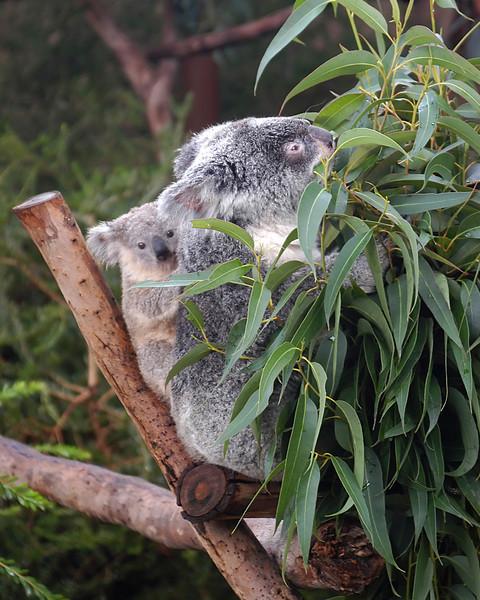 Cozy Koalas at the San Diego Zoo.