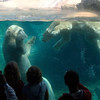 Polar Bears at the San Diego Zoo love to play.