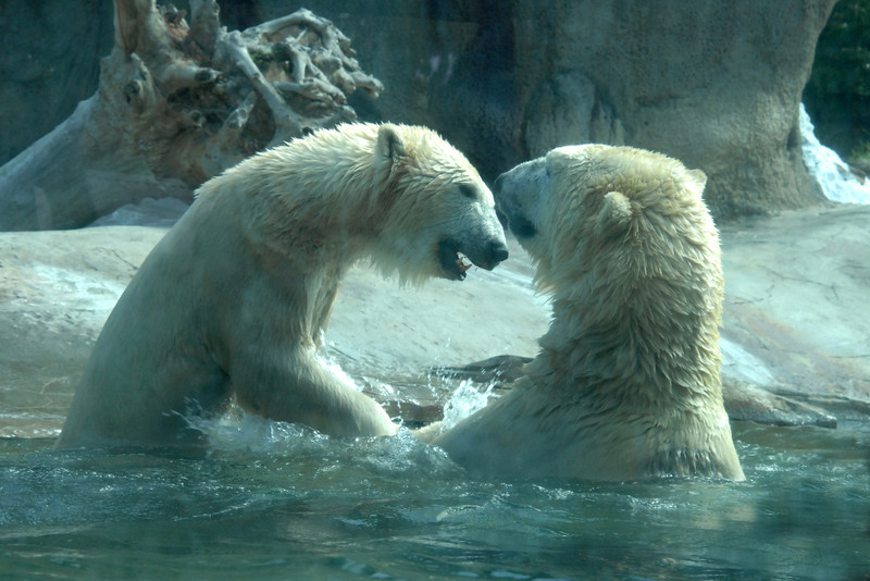 Never a dull moment with the Polar Bears at the San Diego Zoo.