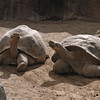 Galapagos tortoises out exercising at the San Diego Zoo.
