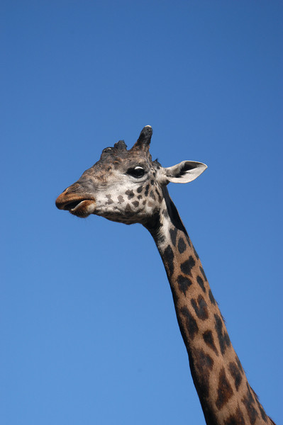 A friendly giraffe at the famous San Diego Zoo.