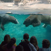 Zoo visitors love watching the Polar Bears in the water at the San Diego Zoo.