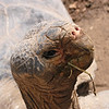 This Galapagos tortoise is a long time resident at the San Diego Zoo.