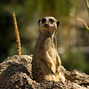 Meerkat enjoying the sun at the San Diego Wild Animal Park.