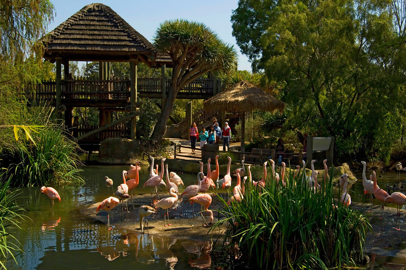 The colorful flamingos of the San Diego Wild Animal Park greet daily visitors.