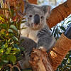 Koala perched in tree at the San Diego Zoo