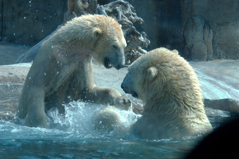 Very active Polar Bears at the San Diego Zoo.