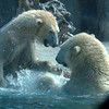 Very active Polar Bears at the San Diego Zoo.
