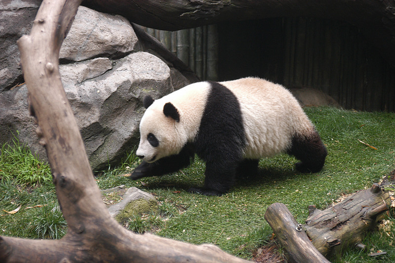The elusive Panda at the San Diego Zoo.