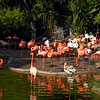 The colorful flamingos are one of the first sights at the San Diego Zoo.