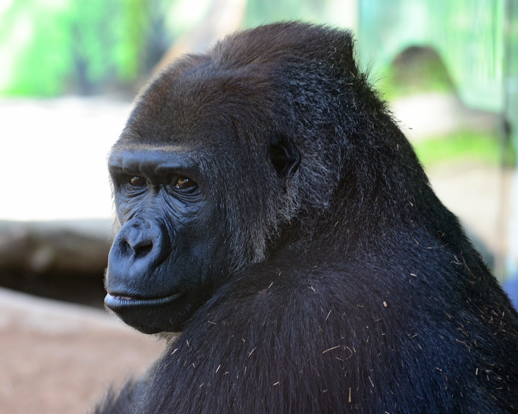 Big Gorilla up close at the San Diego Zoo.