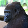 Big Gorilla up close at the San Diego Zoo.
