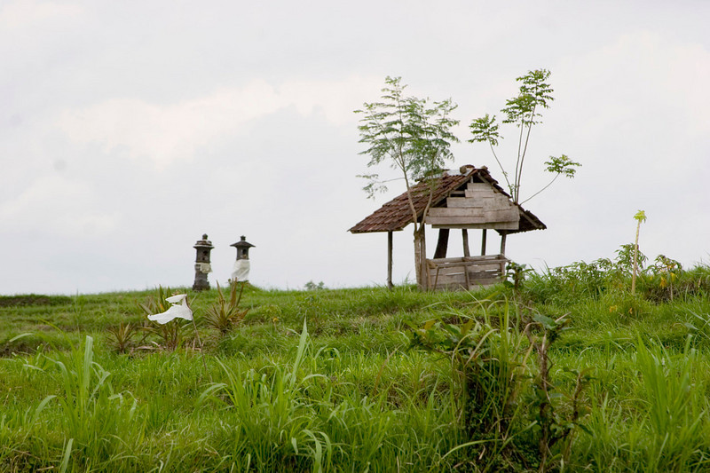"""The white """"flags"""" in the rice paddies are to deter birds, who nevertheless eat much of the crop."""