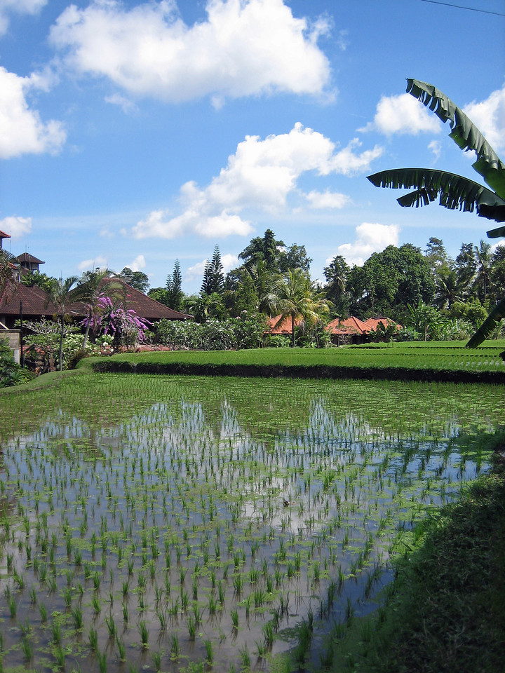 Small hotels in Ubud surrounded by paddie fields.
