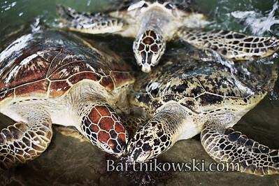 Sea Turtles in Sanur Bali
