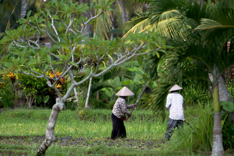 Locals working the rice fields in the grounds of our accomodation in Ubud.