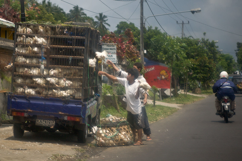 These chickens were being thrown quite hard into this truck for transport.