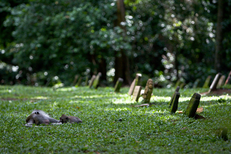 Monkeys relax beside headstones in a cemetary in the Monkey Forest, Ubud.