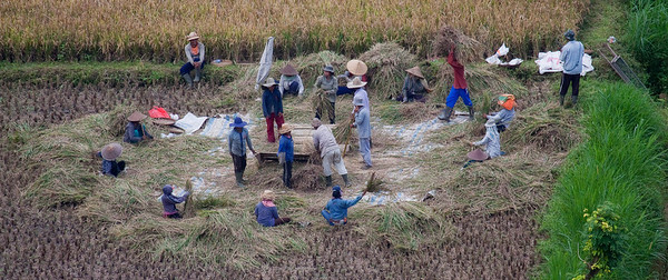 Harveting the rice
