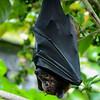 Fruit Bat (Chiroptera)