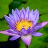 Lotus Bee