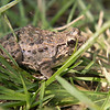 local rice field frog, Lombok, Indonesia