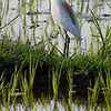 Crane in Rice Field