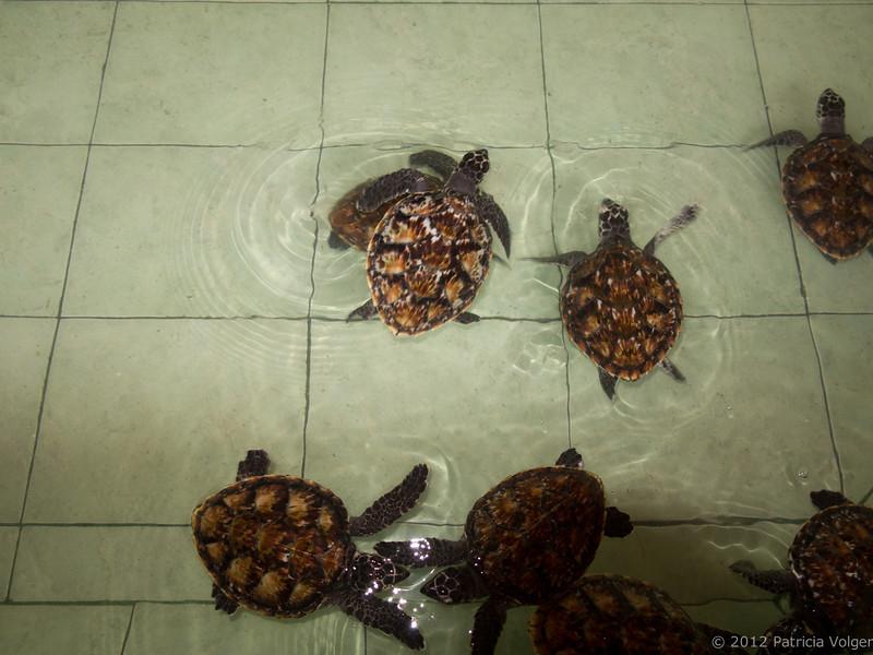 sea turtle sanctuary, Gili Meno