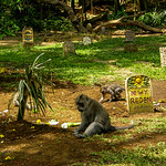 Graveyard with Macaque (Macaca)