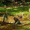 Graveyard with Macaque (Macaca)