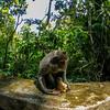 Curious Macaque (Macaca)