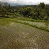 rice fields, Lombok, Indonesia