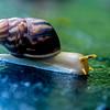 Bali Snail (Achatinoidea)