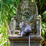 Macaque Throne (Macaca) 2