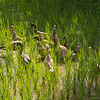 rice field ducks, Lombok, Indonesia