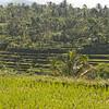 rice field terraces, Lombok, Indonesia