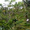 Terrace rice fields near Ubud