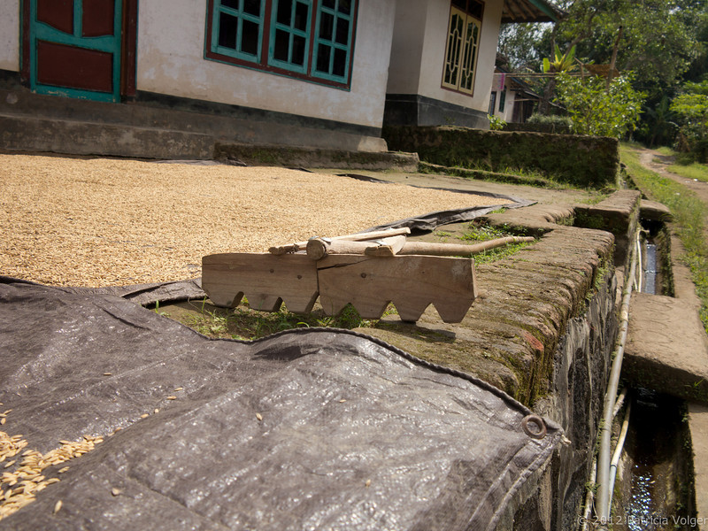 rice drying in a local village, Lombok, Indonsia