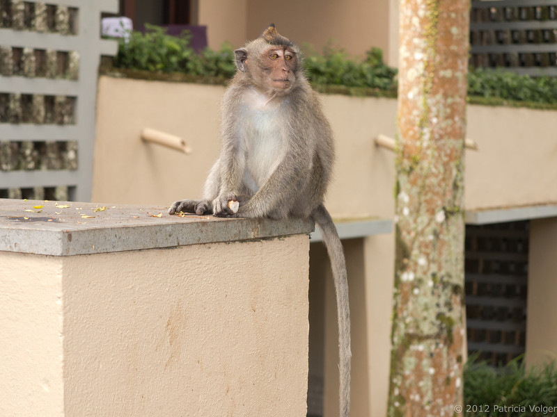 local resident at the Alila, Ubud