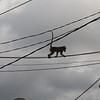 Monkey highway, Ubud, Bali