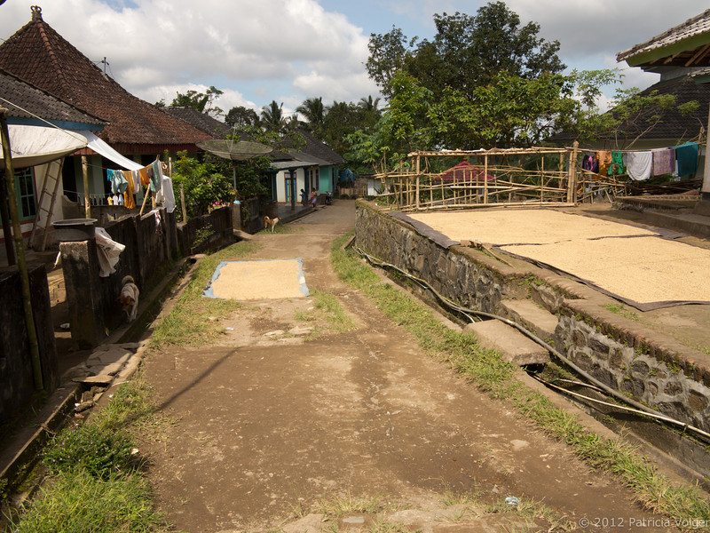 rice is being dried in a local farming village, Lombok, Indonesia