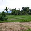 Rice fields near Ubud/ Bali
