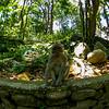 Contemplative Macaque (Macaca)