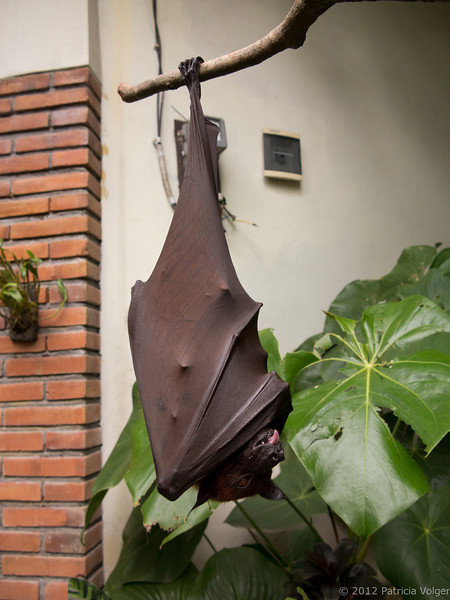 Fruit bat getting ready to take a nap