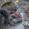 Macaque (Macaca)