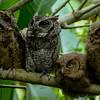Otus Lempiji Owls